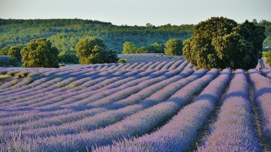 Estás a tiempo, disfruta de la floración en los campos de lavanda de Brihuega.